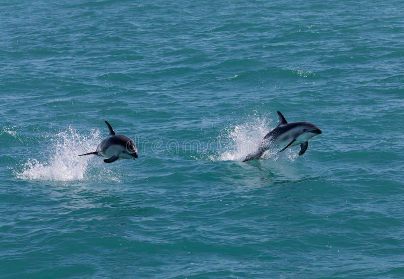 Saltar obscuro do obscurus de Lagenorhynchus de dois golfinhos da água perto de Kaikoura, Nova Zelândia fotografia de stock
