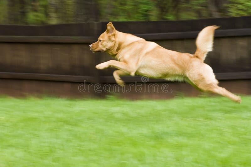 Saltare del cane fotografie stock