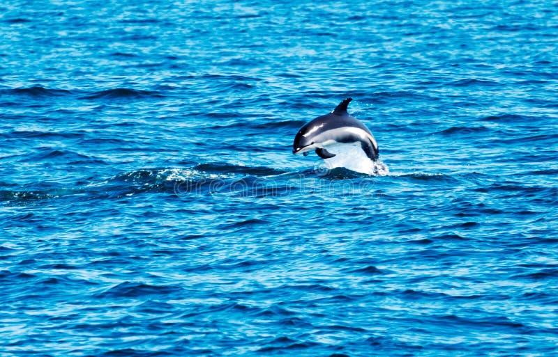 Saltare del delfino dell'Oceano Atlantico in conduttura fotografia stock