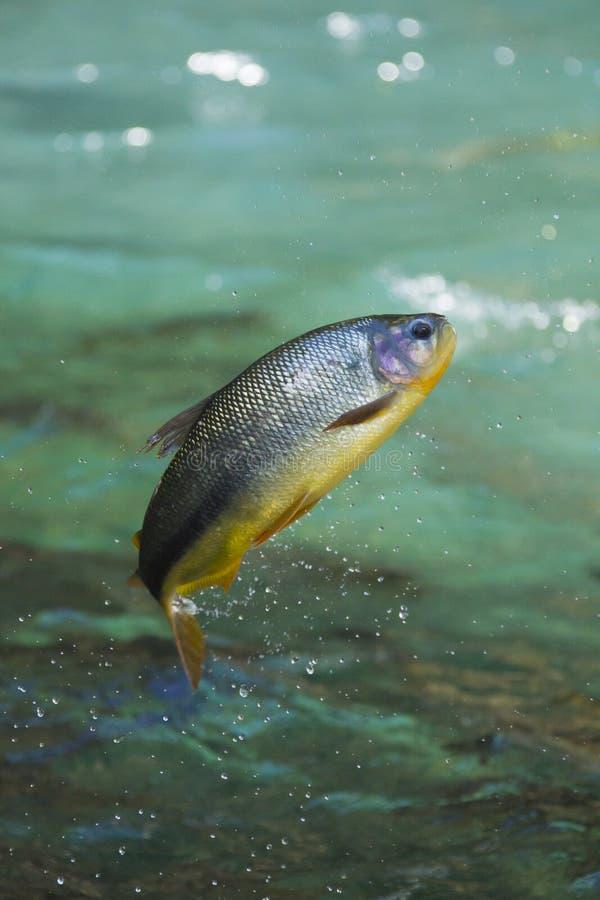 Saltare del pesce di Piraputanga dell'acqua fotografia stock libera da diritti