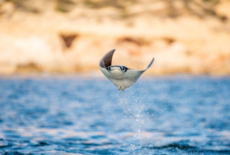 Saltare del raggio della mobula dell'acqua Front View fotografie stock