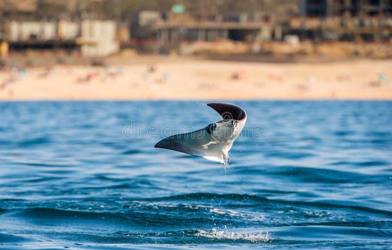 Saltare del raggio della mobula dell'acqua Front View fotografia stock