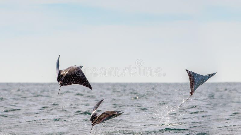 Saltare del raggio della mobula dell'acqua fotografia stock