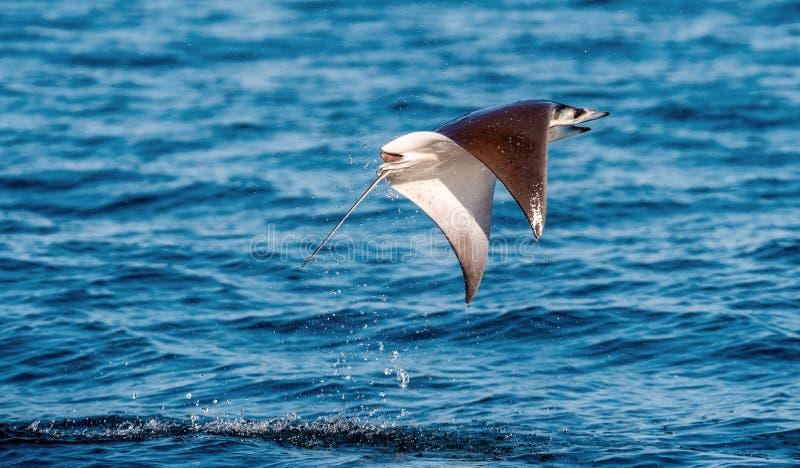 Saltare del raggio della mobula dell'acqua Mobula munkiana, conosciuto come la manta de monk, raggio di diavolo di Munk, raggio d fotografia stock