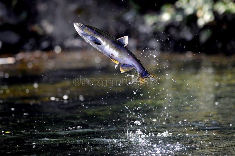 Saltare del salmone argentato dell'oceano Pacifico fotografia stock libera da diritti