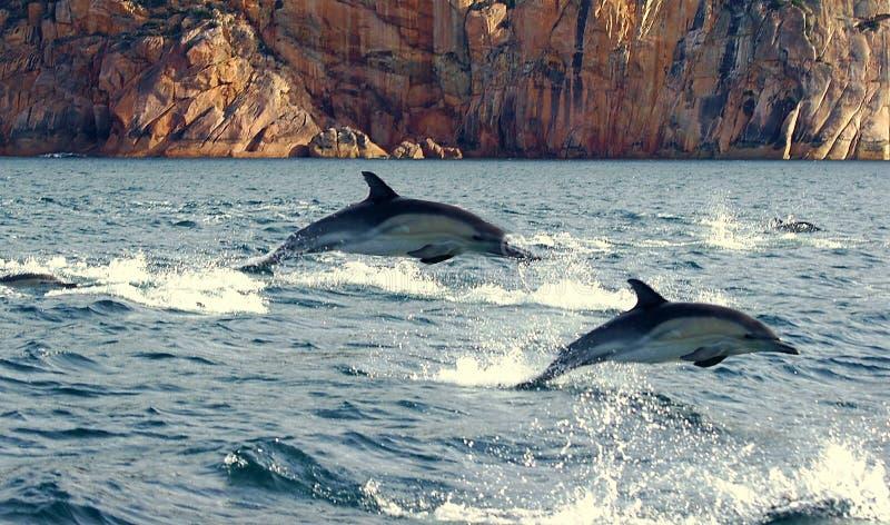 Saltare i delfini immagine stock