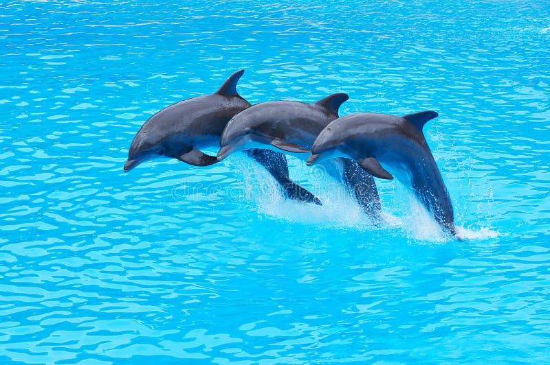 Saltare i delfini di Bottlenose, truncatus del Tursiops fotografia stock libera da diritti