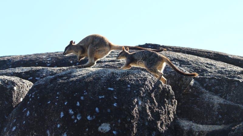 Saltare i roccia-wallaby immagini stock