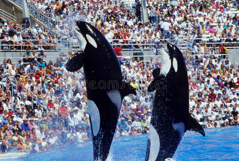 Saltare le balene di assassino immagini stock