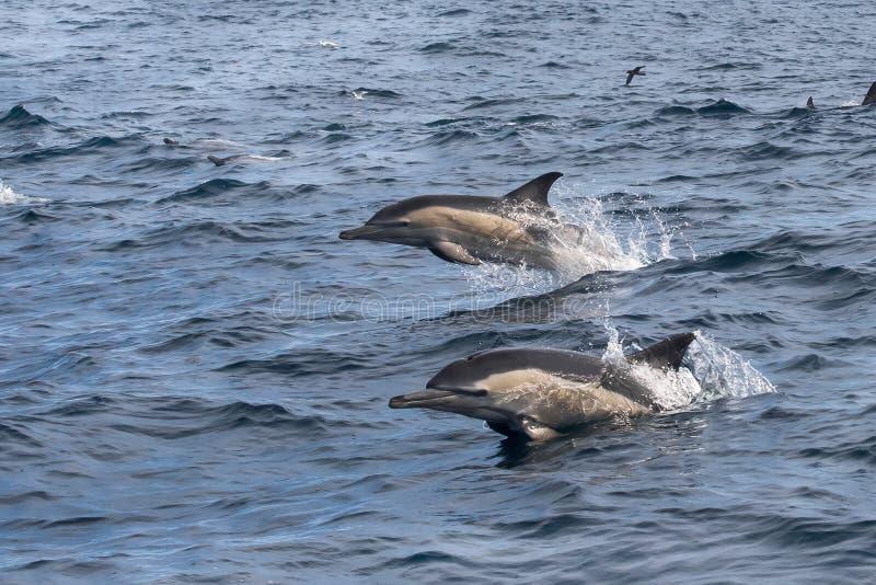 saltare A lungo con becco dei delfini comuni dell'acqua immagine stock libera da diritti
