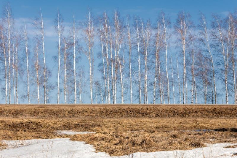 Salte na floresta, a grama murchada, a última neve, sp morno fotos de stock