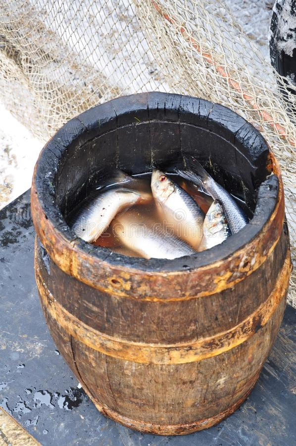 Salted herring in a barrel. Traditional salted herring in a wooden barrel royalty free stock image