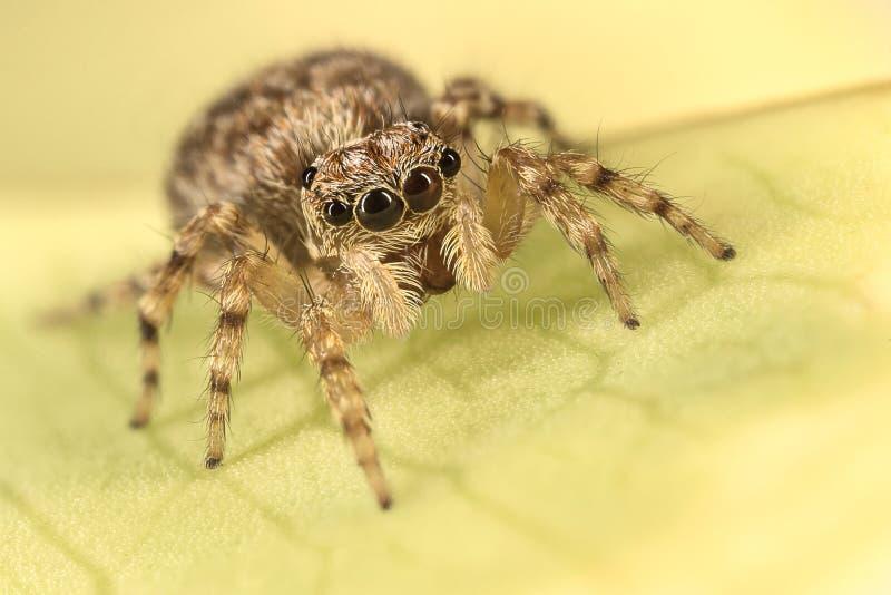 Salticidae - banhoppningspindel royaltyfri bild