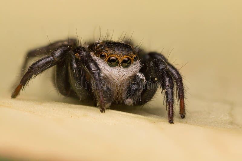 Salticidae - banhoppningspindel arkivfoton