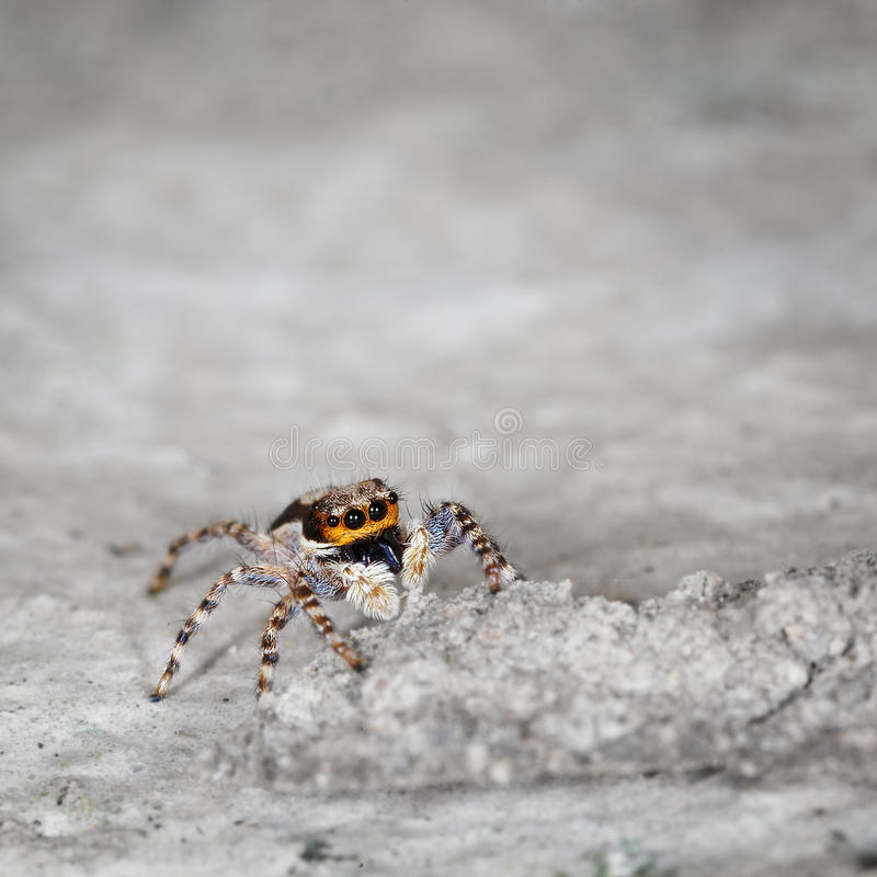 Free Salticidae - Small Spider On Grey Stone Close Up Stock Images - 29129984