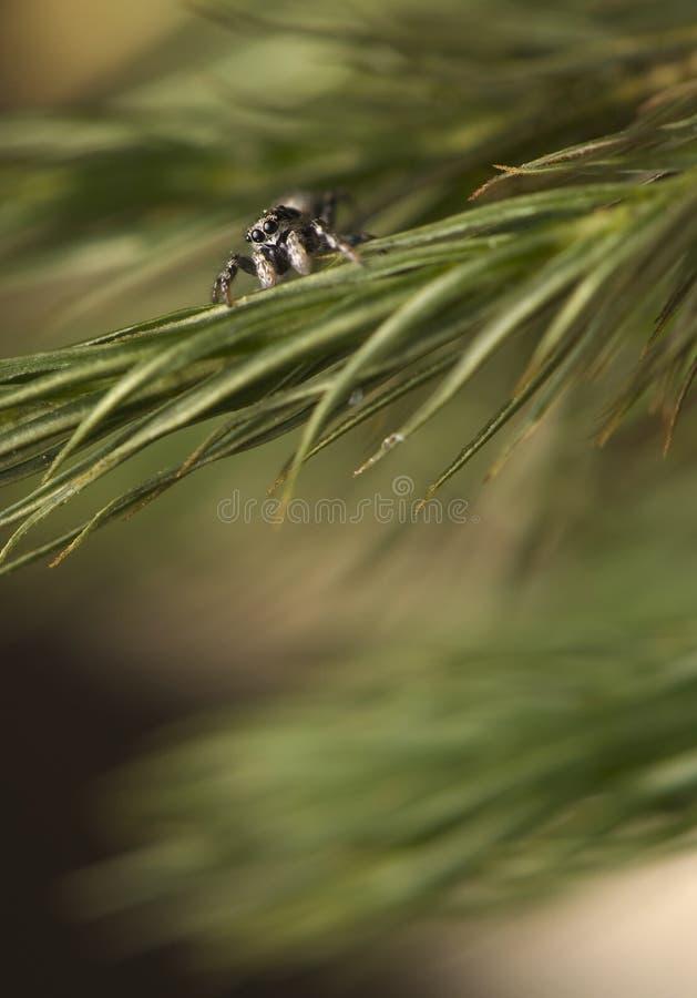 Salticus - Het Springen Spin Op Een Pijnboomtak Stock Fotografie