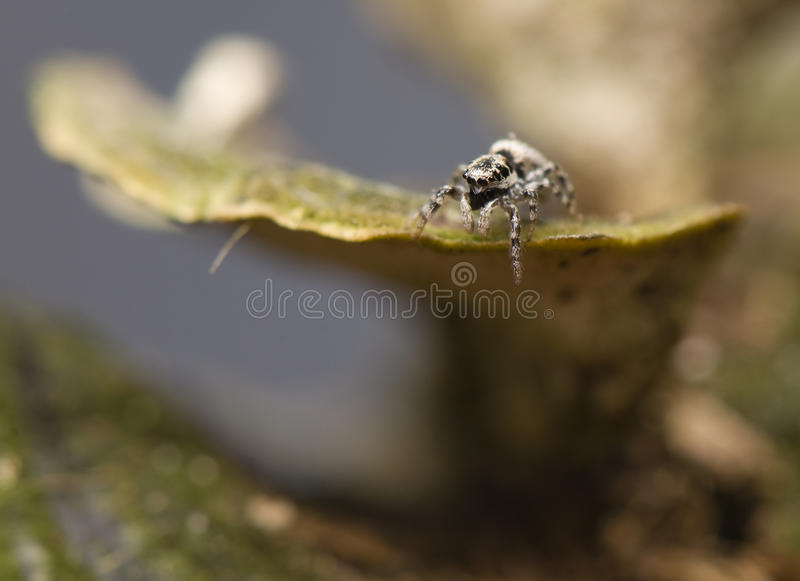 Download Salticus - jumping spider stock photo. Image of fangs - 24103238