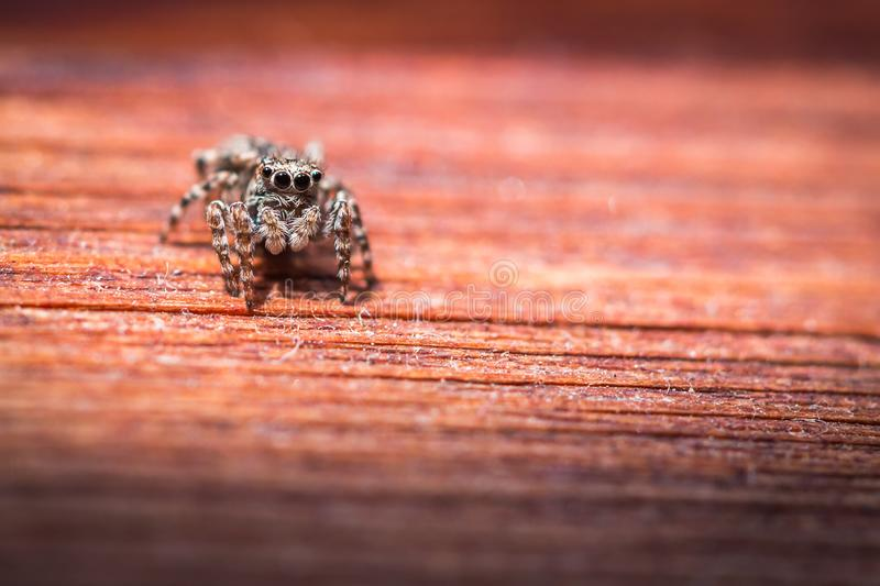 Salticus scenicus jumping spider macro on a wood texture, shallow depth of field. stock image