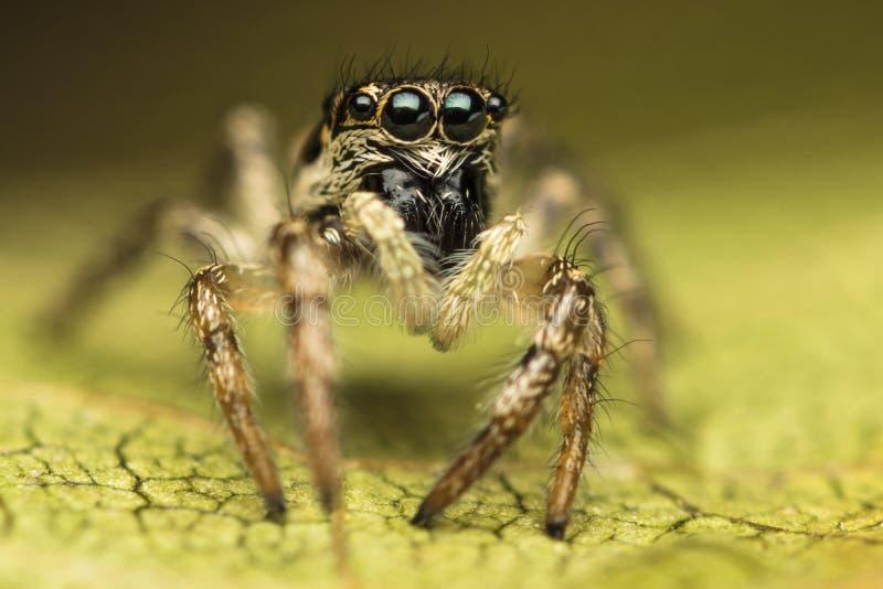 Salticus scenicus skokowy pająk zdjęcie royalty free