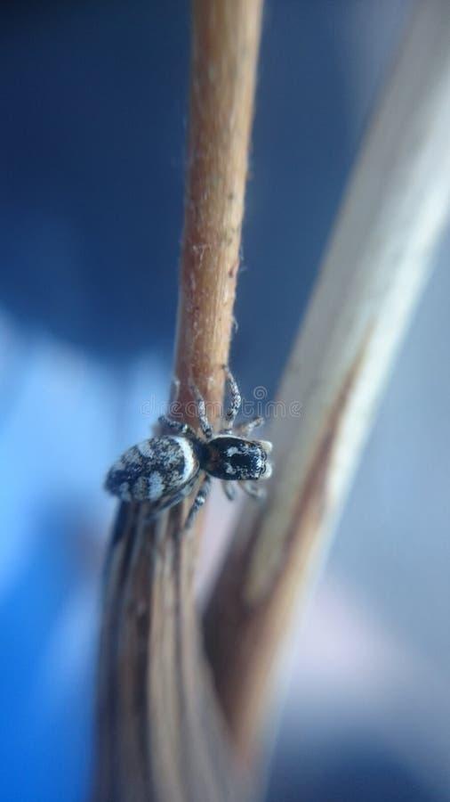 Salticusscenicus - gestreepte het springen spin stock fotografie