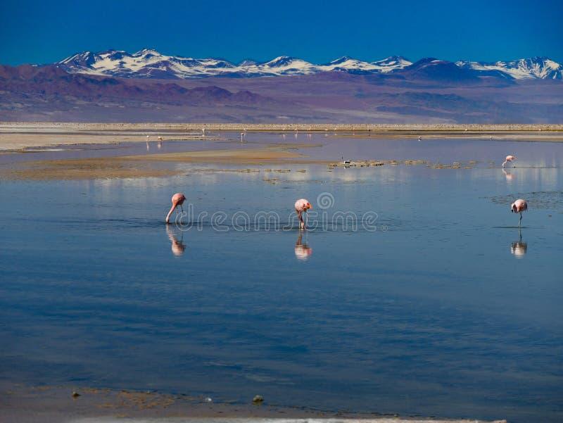 Saltlake in Spaanse peper met Flamingo stock afbeeldingen