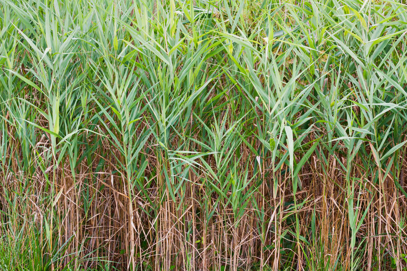 Saltmarsh Cordgrass. Which is also known as Smooth Cordgrass (Spartina alterniflora stock photo
