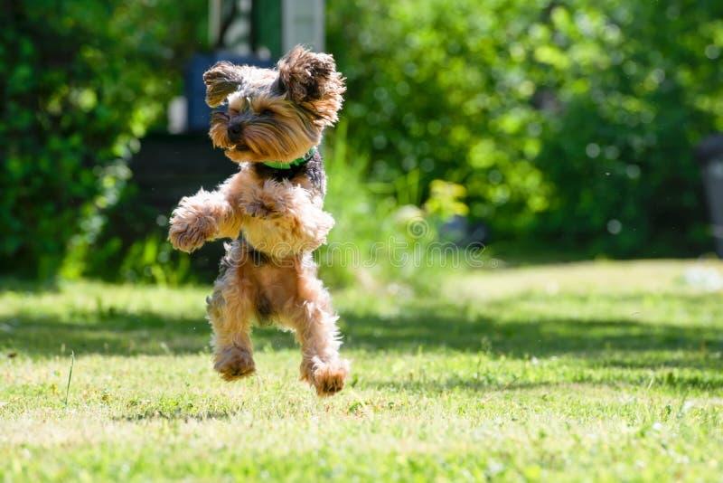 Salto in alto del cucciolo dell'Yorkshire terrier immagini stock libere da diritti
