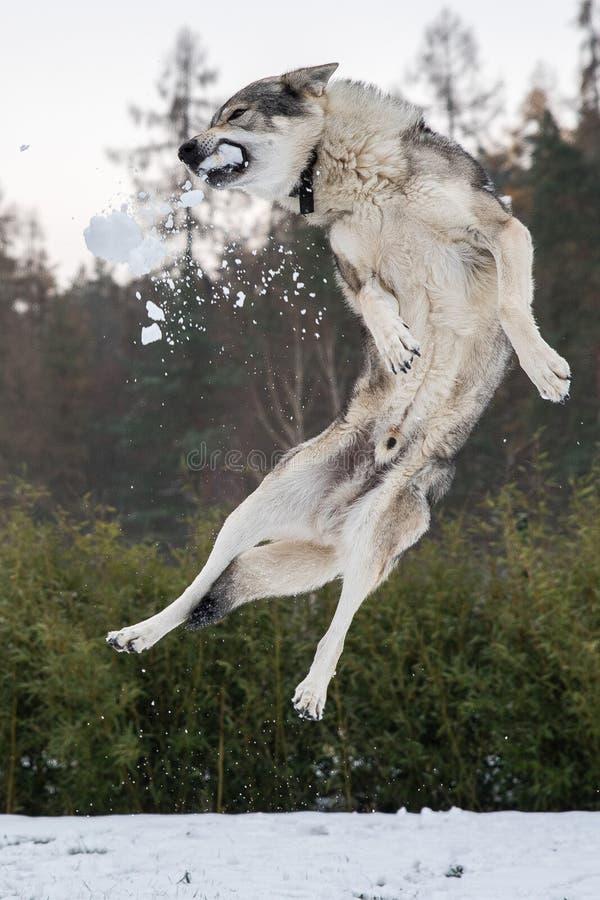 Salto checoslovaco del wolfdog y bola de nieve de la captura fotografía de archivo libre de regalías