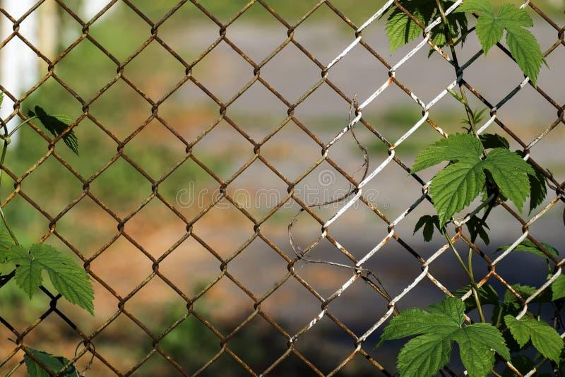Salto común entrelazado en la cerca oxidada vieja hecha de la malla de alambre de acero fotos de archivo
