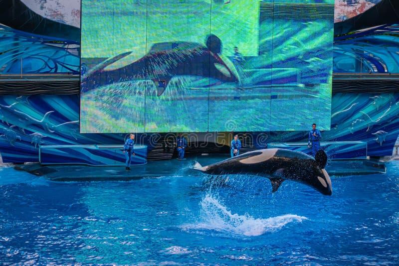 Salto de baleia no One Ocean Show no Seaworld 17 fotografia de stock
