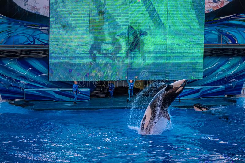 Salto de baleia no One Ocean Show no Seaworld 11 fotos de stock