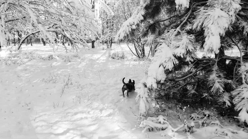 Salto de funcionamiento del perro basset en el invierno en un parque en la nieve imágenes de archivo libres de regalías