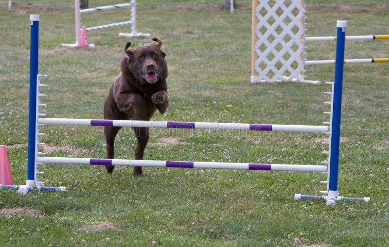 Salto de la agilidad del perro imágenes de archivo libres de regalías