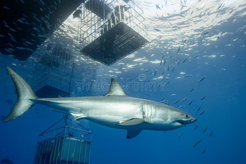 Salto de la jaula con los tiburones de Great White en M?xico foto de archivo libre de regalías