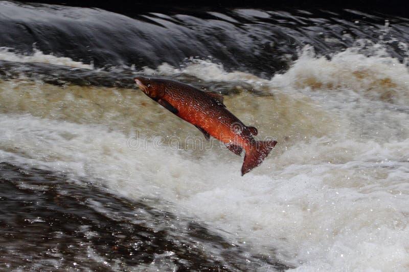 Salto de los salmones foto de archivo