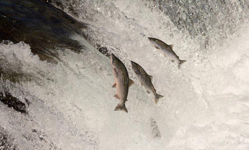 Salto de los salmones de Sockeye imagen de archivo libre de regalías