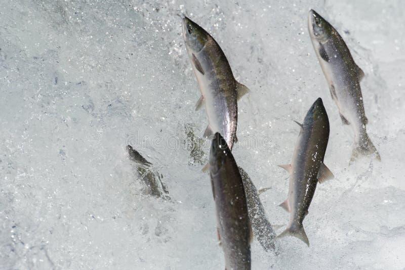Salto de los salmones de Sockeye fotos de archivo