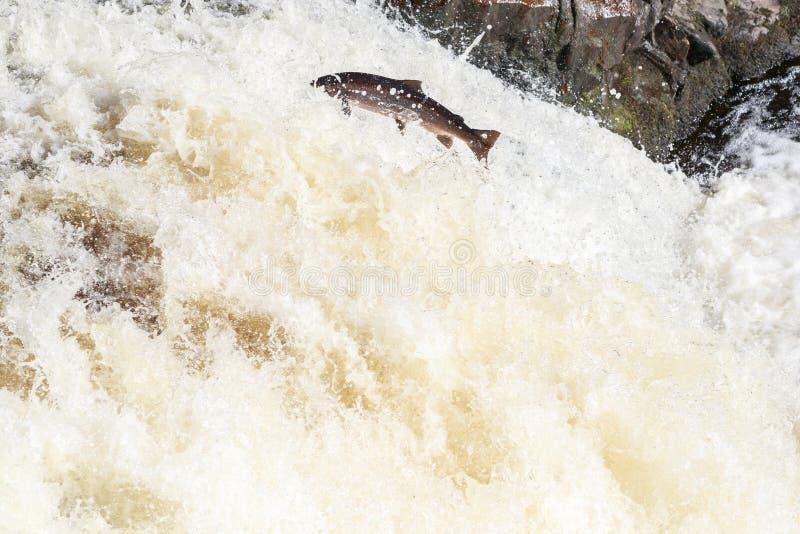 Salto de salmones en las caídas de la espinilla fotografía de archivo