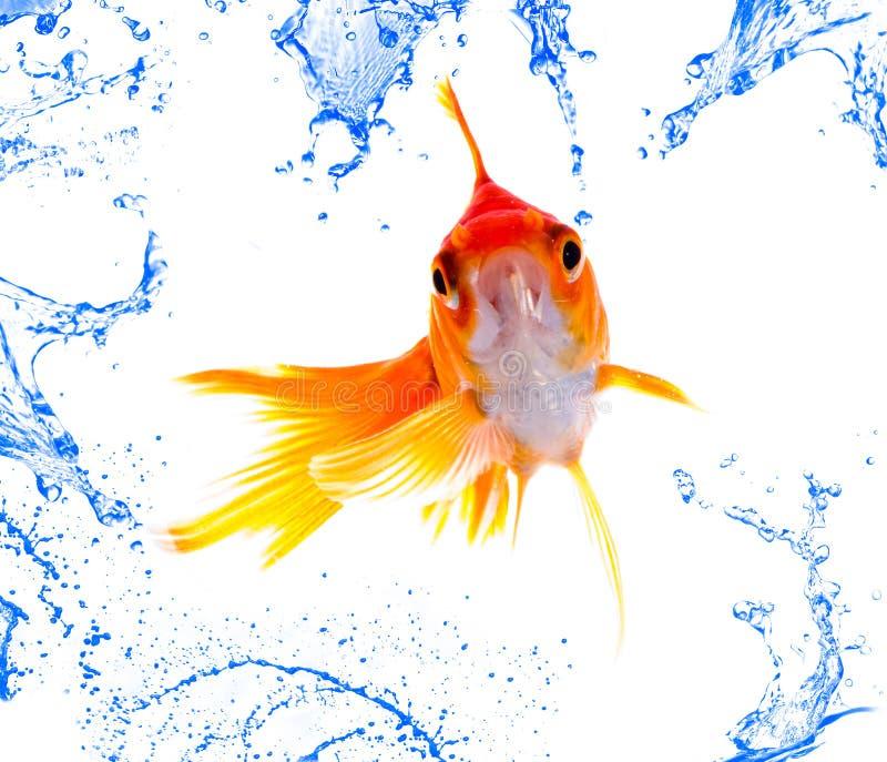 Salto dei pesci dell'oro fotografia stock libera da diritti