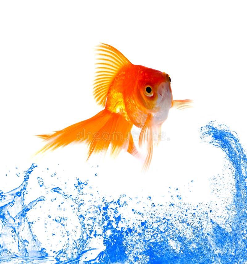 Salto dei pesci dell'oro fotografia stock