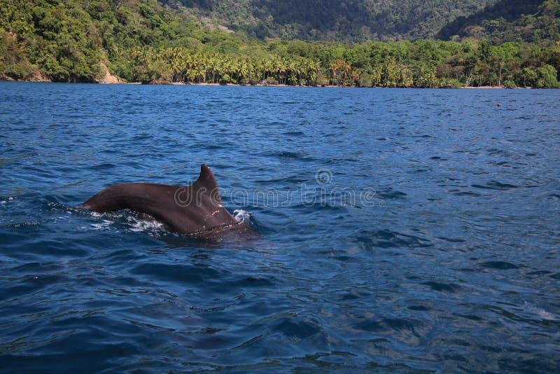 Salto del delfín en el Pacífico fotos de archivo