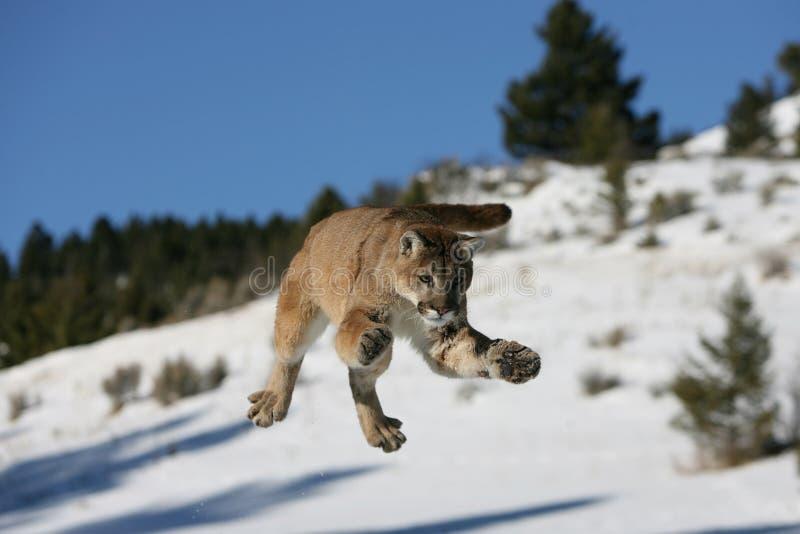 Salto del leone di montagna immagine stock libera da diritti