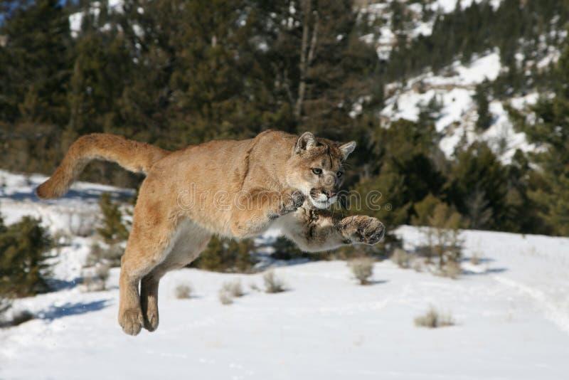 Salto del leone di montagna fotografia stock