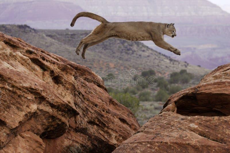 Salto del leone di montagna immagini stock libere da diritti