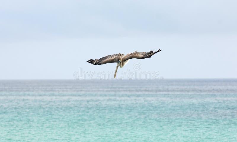 Salto del pelícano, islas de las Islas Galápagos imagen de archivo