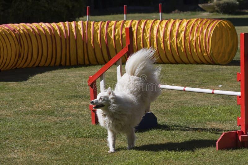 Salto del perro de la agilidad foto de archivo libre de regalías
