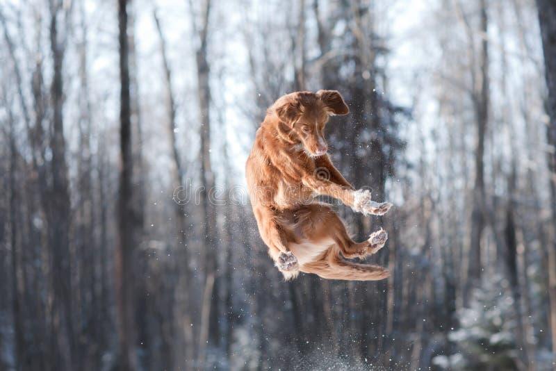 Salto del perro de la raza de Nova Scotia Duck Tolling Retriever alto al aire libre imagen de archivo