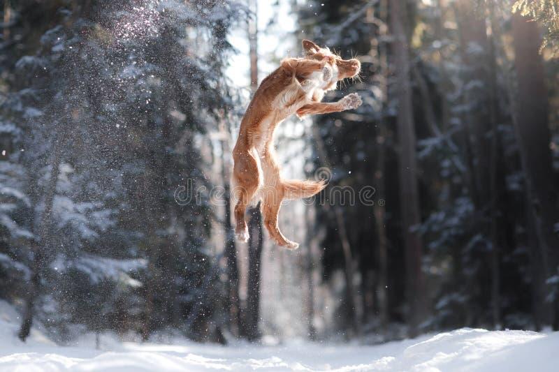 Salto del perro de la raza de Nova Scotia Duck Tolling Retriever alto al aire libre imágenes de archivo libres de regalías