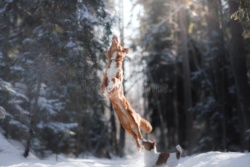 Salto del perro de la raza de Nova Scotia Duck Tolling Retriever alto al aire libre fotos de archivo libres de regalías