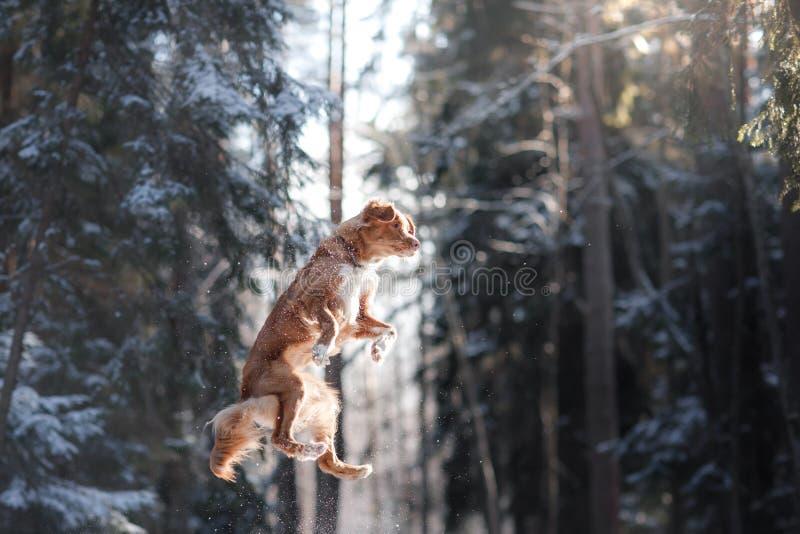 Salto del perro de la raza de Nova Scotia Duck Tolling Retriever alto al aire libre imagenes de archivo